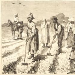 Cotton Culture, Covering in the Seed